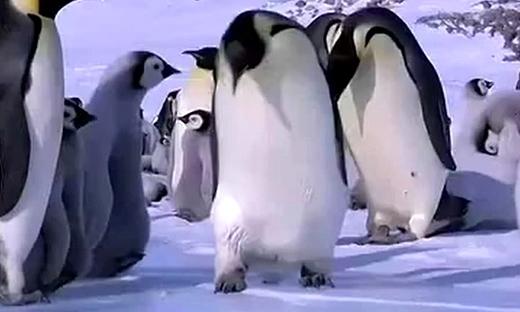 呆蠢企鹅摔倒蠢哭了