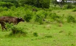 彪悍野牛狮口救同伴,将狮子挑飞半空